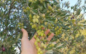 Olivenbaum Bio