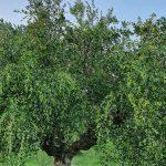 Olivenbaum für Olivenöl